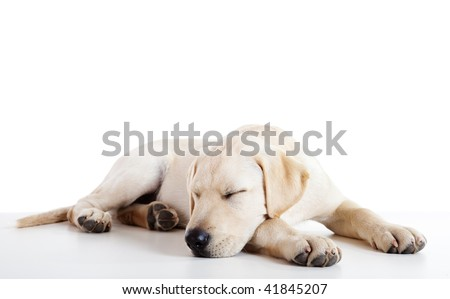 Studio portrait of a beautiful and cute labrador dog sleeping