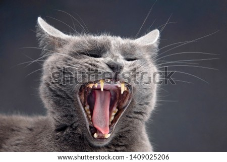 Studio portrait of a beautiful grey cat with a wide open mouth. Pets and mammals. canine friend