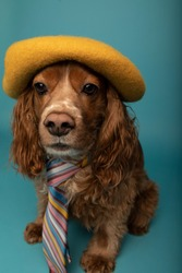 Studio portrait of a cocker spaniel dog wearing a multiple colour tie and a yellow beret. The background is blue.