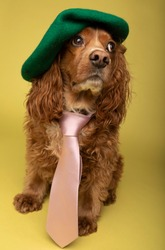 Studio portrait of a cocker spaniel dog wearing a pink tie and a green beret. The background is yellow.