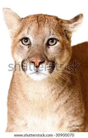 Studio portrait of a Cougar. - stock photo