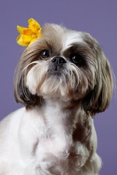 Studio portrait of a dog. Muzzle Shitzu dog with a yellow Narcissus flower behind his ear, isolated on a lilac background. Selective focus