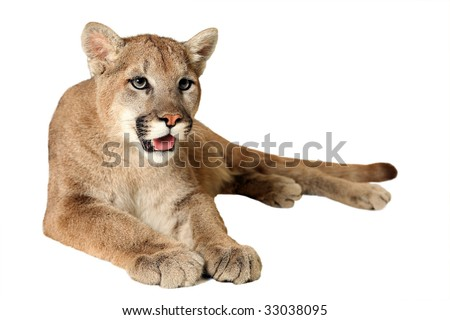 Studio portrait of a Mountain Lion isolated on a white background.