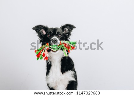 Studio portrait of a playful border collie dog sitting and holding a colorful rope toy in mouth isolated on white background.