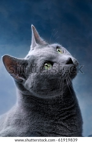 Studio Portrait of a russian blue cat