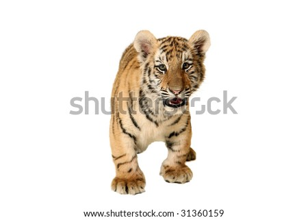 Studio portrait of a Siberian Tiger Cub.
