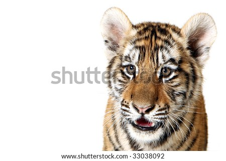 Studio portrait of a Siberian Tiger Cub isolated on a white background.