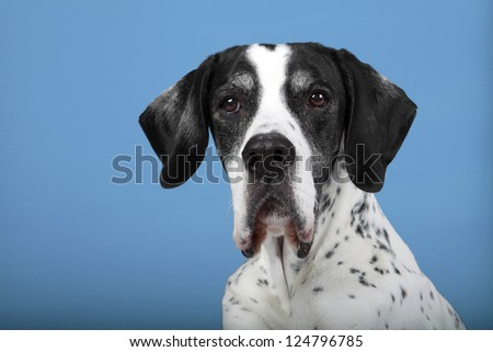 Studio portrait of a 10-year-old English Pointer against a blue background.