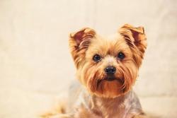 studio portrait of a Yorkshire terrier