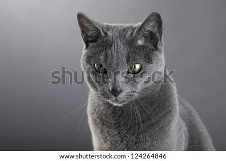 Studio portrait of an elegant purebred Russian Blue Cat