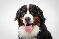 Studio portrait of an expressive black Bernese Mountain Dog against white background