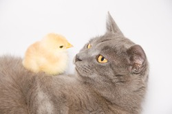 Studio portrait of baby chick lying on a cat isolated on white background.