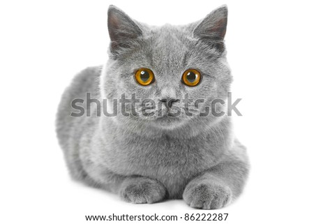 Studio portrait of beautiful young British blue cat lying on isolated white background