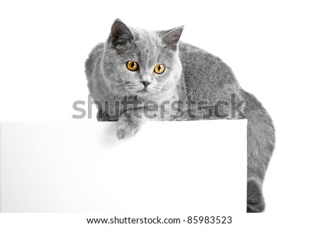 Studio portrait of beautiful young British blue cat lying on tablet with space for your text