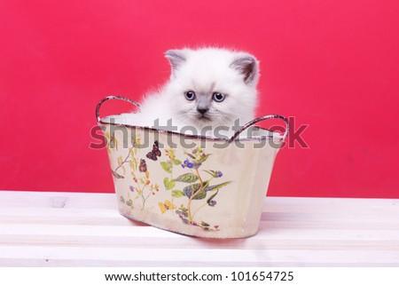 Studio portrait of beautiful young white kitten sitting in basket