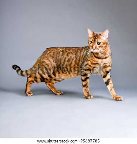 Studio portrait of bengal cat isolated on grey background