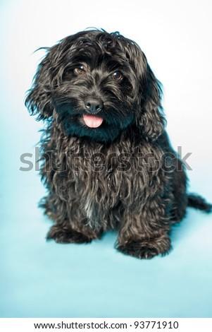 Studio portrait of black boomer dog isolated on light blue background.