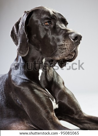 Studio portrait of black danish dog isolated on grey background