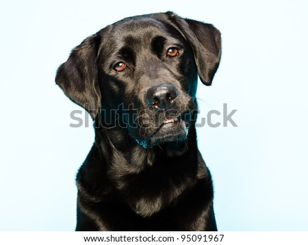 Studio portrait of black labrador retriever isolated on light blue background - stock photo