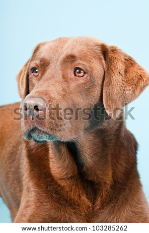 Studio portrait of brown labrador isolated on light blue background.