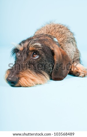 Studio portrait of cute brown black dachshund isolated on light blue background.