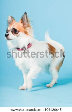 Studio portrait of cute white brown chihuahua isolated on light blue background.