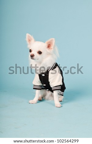 Studio portrait of cute white chihuahua puppy wearing baseball jacket isolated on light blue background