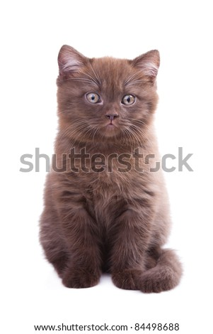 Studio portrait  of cute young chestnut British kitten sitting on isolated white background
