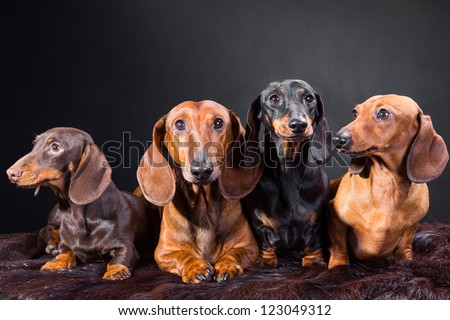 Studio portrait of four red, black and chocolate dachshund dogs on dark background