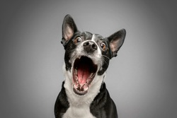 Studio Portrait of Funny and Excited, Bull Terrier Mixed Dog on Grey Background with Shocked / Surprised Expression and Open Mouth
