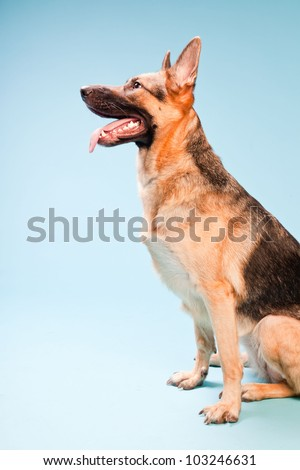 Studio portrait of german shepard dog isolated on light blue background
