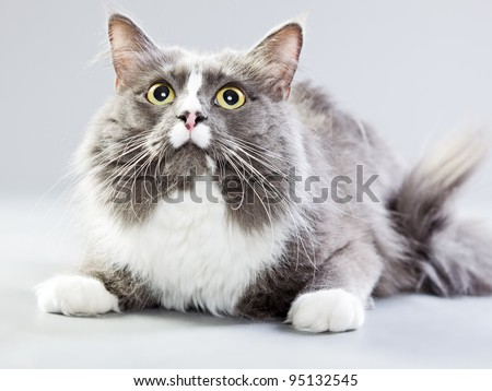 maine coon cat isolated on