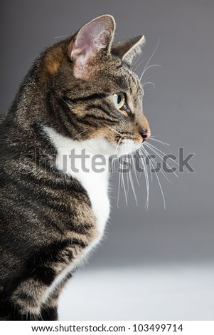 Studio portrait of grey striped cat with white chest isolated on grey background.