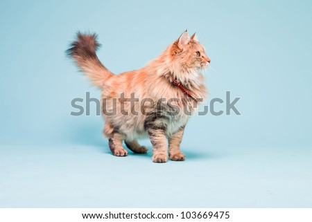 Studio portrait of main coon cat isolated on light blue background.
