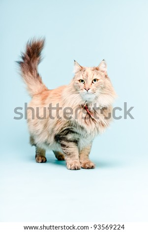 Studio portrait of main coon cat isolated on light blue background
