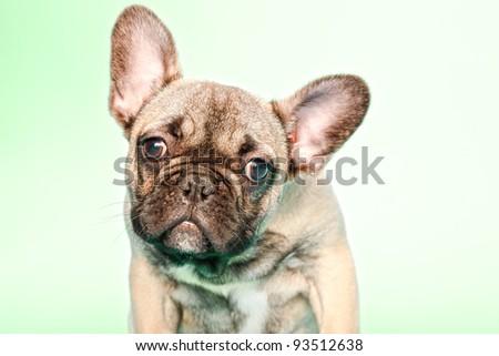 Studio portrait of puppy bulldog isolated on light green background