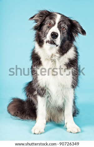 Studio portrait of senior border collie isolated on light blue background