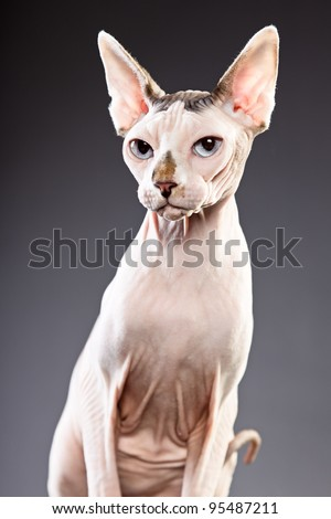 Studio portrait of sphynx cat isolated on grey background