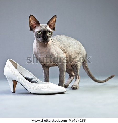 Studio portrait of sphynx cat with white womans shoe isolated on grey background
