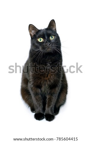 Studio portrait of the young black cat is sitting on a white background looting at camera, is isolated on white