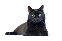 Studio portrait of the young black cat lying on a white background looting at camera, is isolated on white
