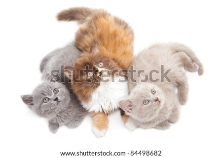 Studio portrait  of three cute playful British kittens  lying on isolated white background