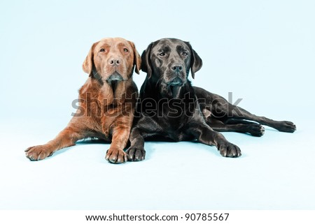 Studio portrait of two labradors lying down isolated on light blue background. Brown and black.