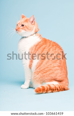 Studio portrait of white and red domestic cat isolated on light blue background