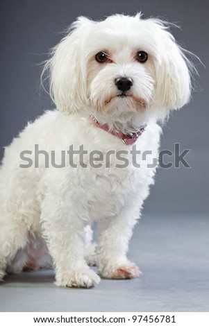 Studio portrait of white maltese dog isolated on grey background