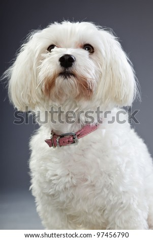 Studio portrait of white maltese dog isolated on grey background - stock photo
