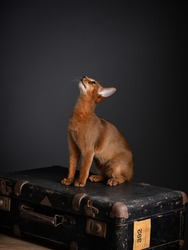 Studio Portrait of young Abyssinian Cat Kitten and old leather suitcase