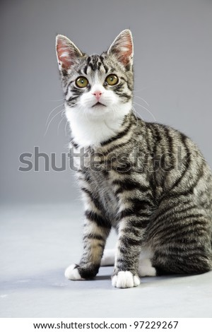 Studio portrait of young cat grey with black stripes isolated on grey background