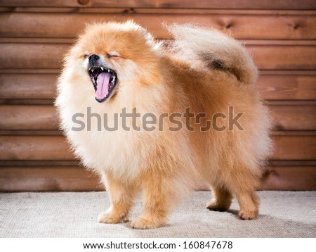 Studio portrait Pomeranian dog with open mouth on a background wooden wall