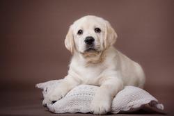 Studio portrait puppy labrador on a colored background